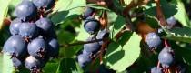 Ирга садовая (привитая)