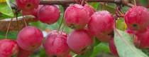 Яблони-ранетки