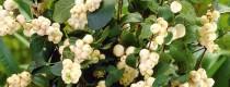 Снежноягодник белый