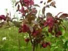 Яблоня декоративная Недзвецкого