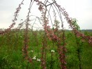 Яблоня декоративная Пендула (с комом земли)